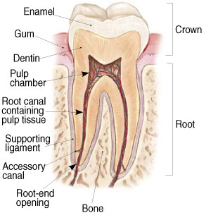 Detailed diagram of tooth and root from Manhattan Maxillofacial Surgery Group